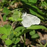 Leptidea amurensis MÉNÉTRIÈS, 1859. 6 km au sud d'Anisimovka, 19 juillet 2010. Photo : J. Michel