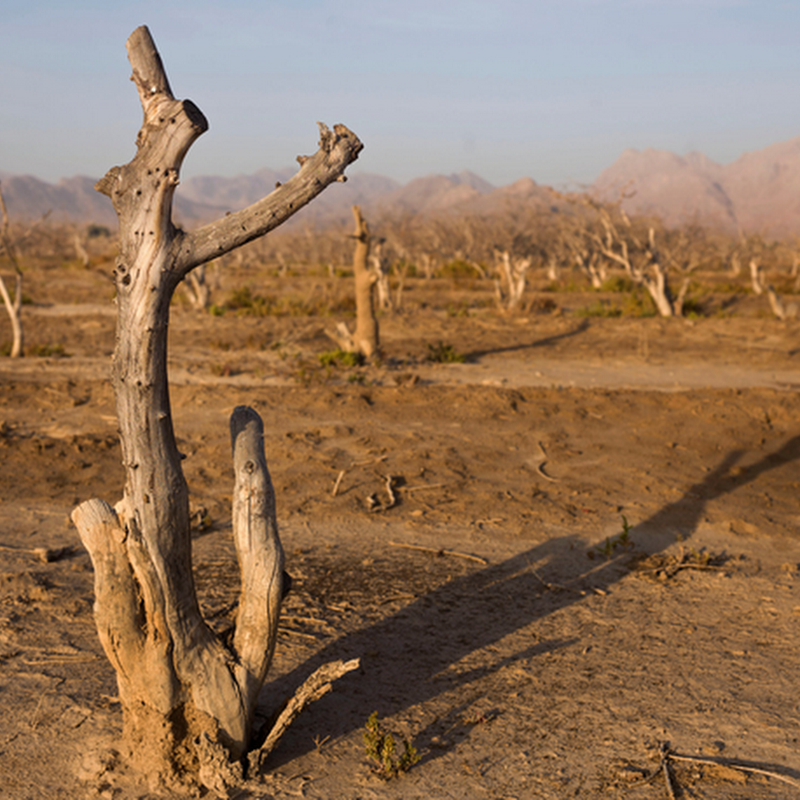 Scarred Riverbeds And Dead Pistachio Trees In A Parched...