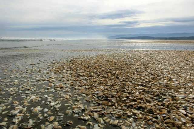 Thousands of clams beached on the shores of Chiloe Island in Chile in May 2016. Photo: Alvaro Vidal / AFP