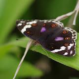 Junonia oenone oenone LINNAEUS, 1758, femelle. Colline de Mvog Beti, Yaoundé (Cameroun), 6 avril 2012. Photo : J.-M. Gayman
