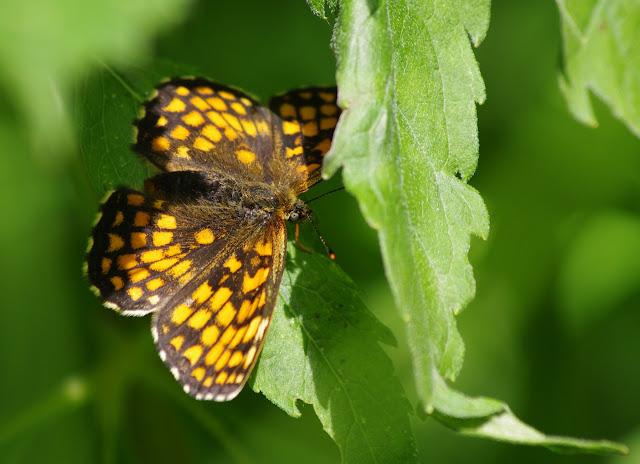 Mellicta athalia athalia (ROTTEMBURG, 1775). Hautes-Lisières (Rouvres, 28), 9 juillet 2012. Photo : J.-M. Gayman