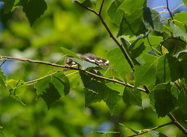 Apatura ilia DENIS & SCHIFFERMÜLLER, 1775 (femelle ?). Les Hautes-Lisières (Rouvres, 28), 16 juin 2011. Photo : J.-M. Gayman