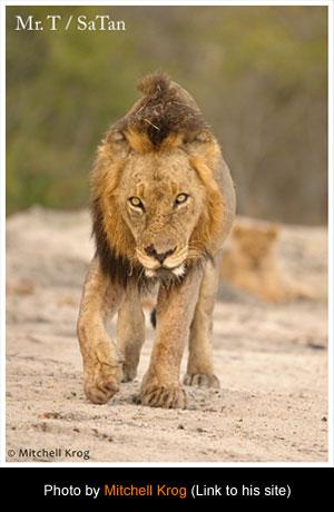Brothers in Blood- The Lions of Sabi Sand - Đàn Sư Tử Khét Tiếng Nhất Châu Phi