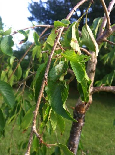 Weeping Cherry Tree Leaves