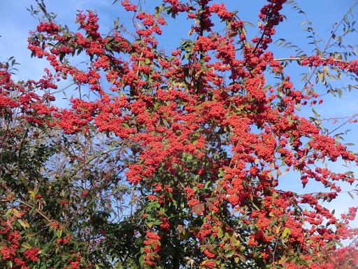 CIMG7901 Winter berries, Otford