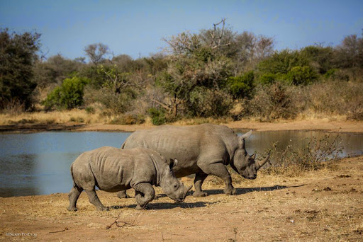 Rhinos. Photo by Susan Portnoy, the Insatiable Traveler