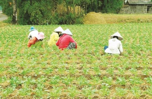 Hướng dẫn kỹ thuật trồng củ Cải - 57230e00cbbb3