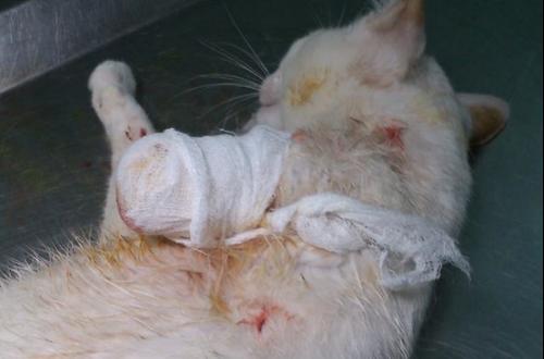 Phẫu thuật tháo khớp chó mèo