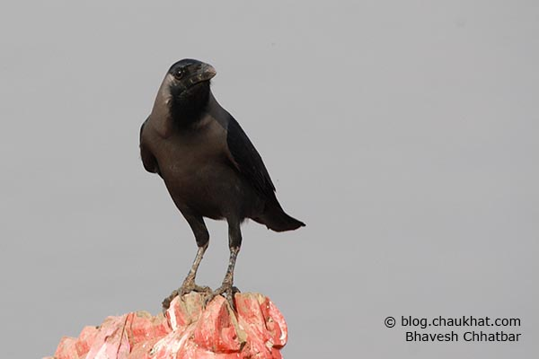 A crow in its typical pose