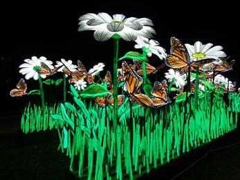 2018.12.03-056 Papillons monarques