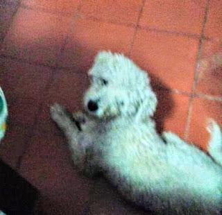 Pono perro Chacabuco
