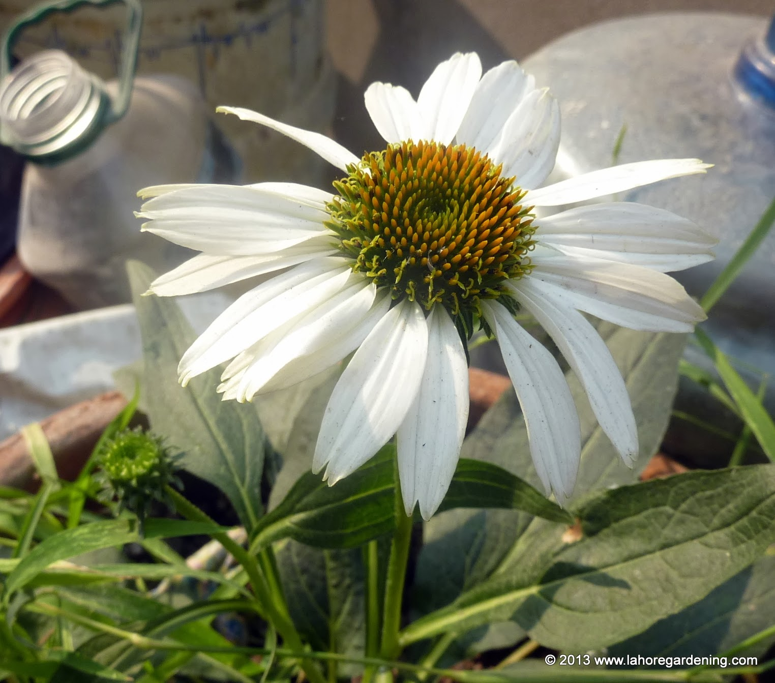 Petals Are Not Drooping For Echinacea