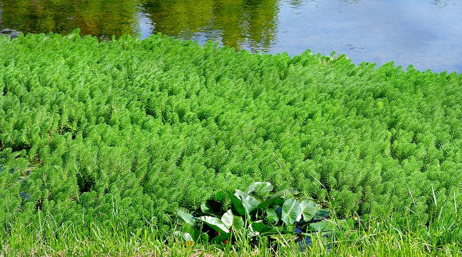 Перистолистник водный (Myriophyllum aquaticum)