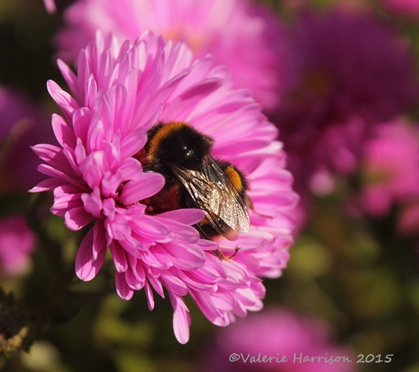 bumblebee-on-aster
