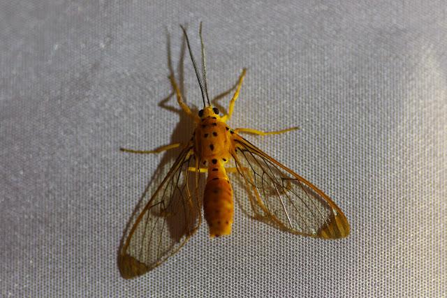 Arctiidae : Ctenuchinae : Isanthrene monticola SCHAUS, 1911. El Valle de las MInas (Chiriquí, Panamá), 26 octobre 2014. Photo : J.-M. Gayman