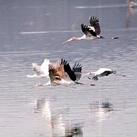 69 stork flying.jpg