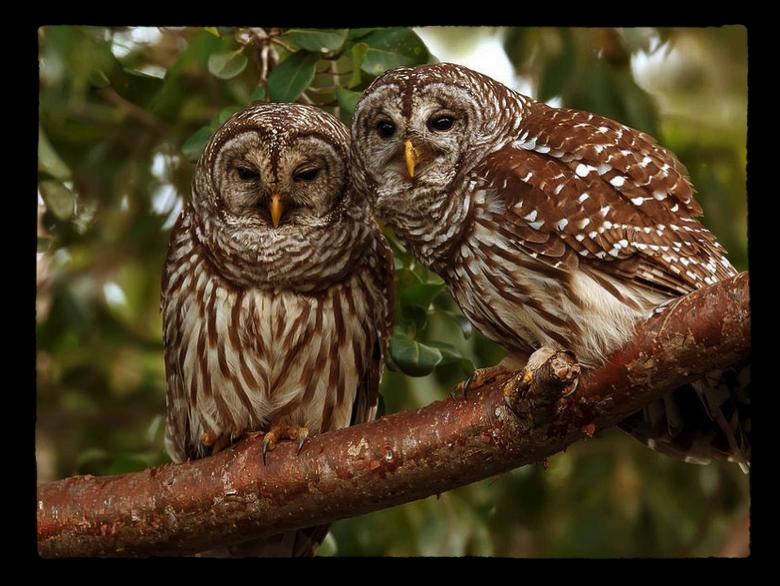 Owlies s