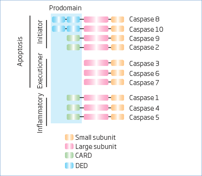 Types of caspases.