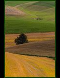 """Palouse Pine"" by Valerie Henschel"