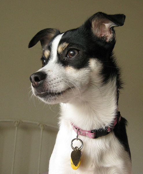 american rat terrier rat terrier grooming care breed and hunting dog 5799