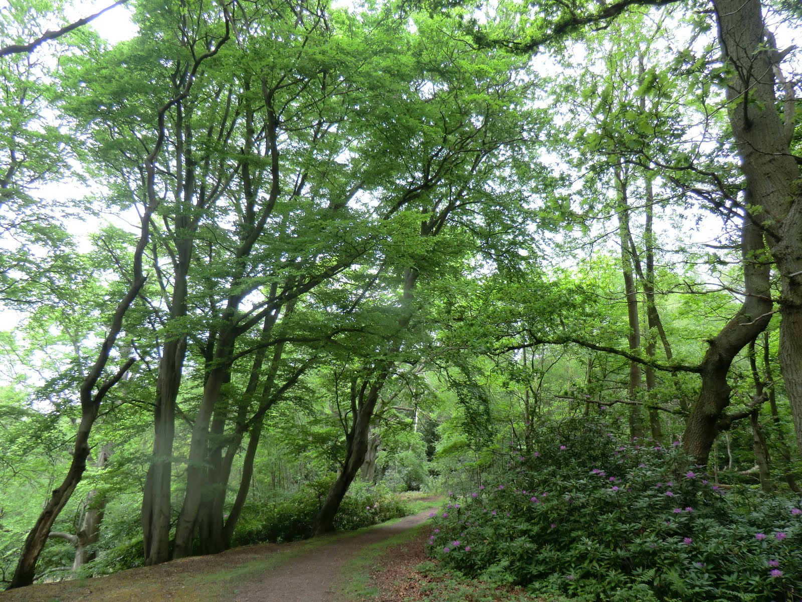 CIMG8246 Beech Hill in spring