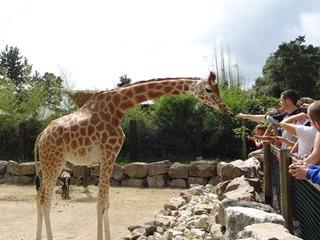 2016.07.31-026 goûter des girafes