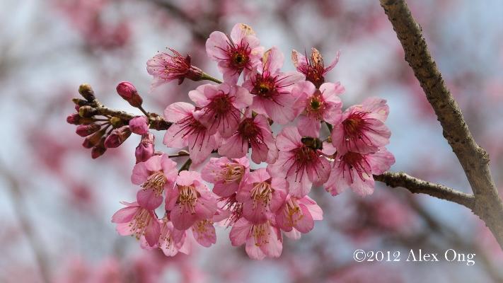 Himalaya Cherry Blossoms