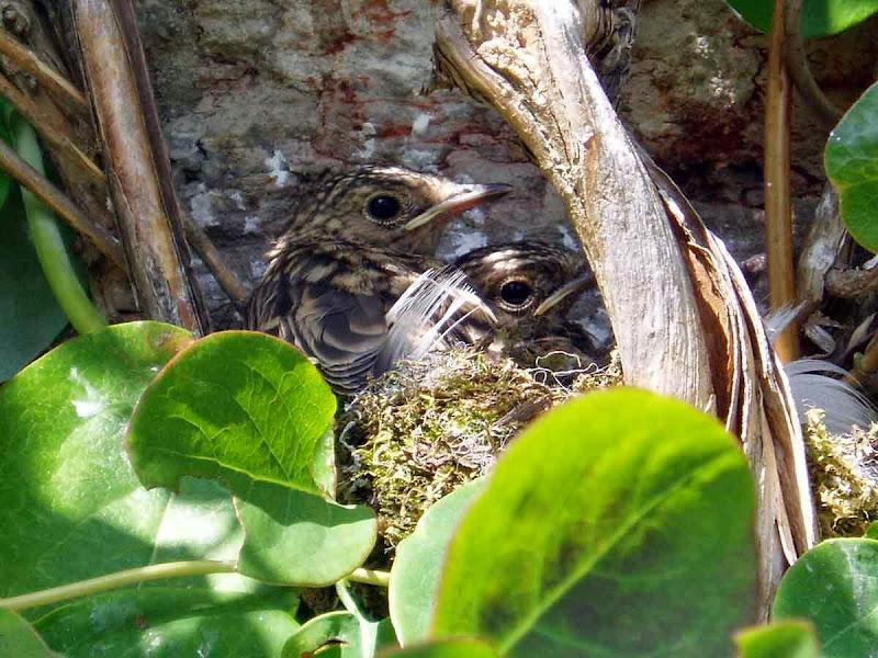 Baby-flycatchers-in-nest - Cathy R