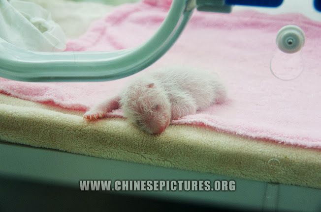 New Born Chinese Panda Baby 2013