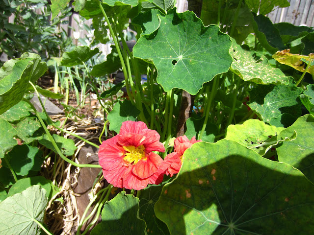 red flower of the Nasturtium