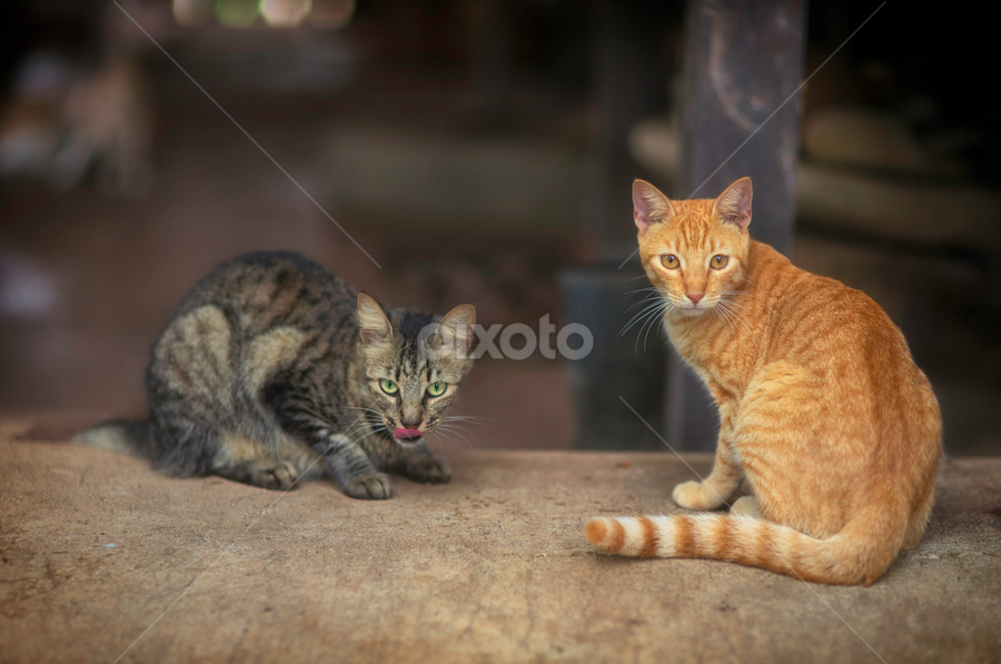 why are you watching us by Annette Flottwell - Animals - Cats Portraits ( amarillo, gato, rebaño, ginger, chat, gatos, manada,  )