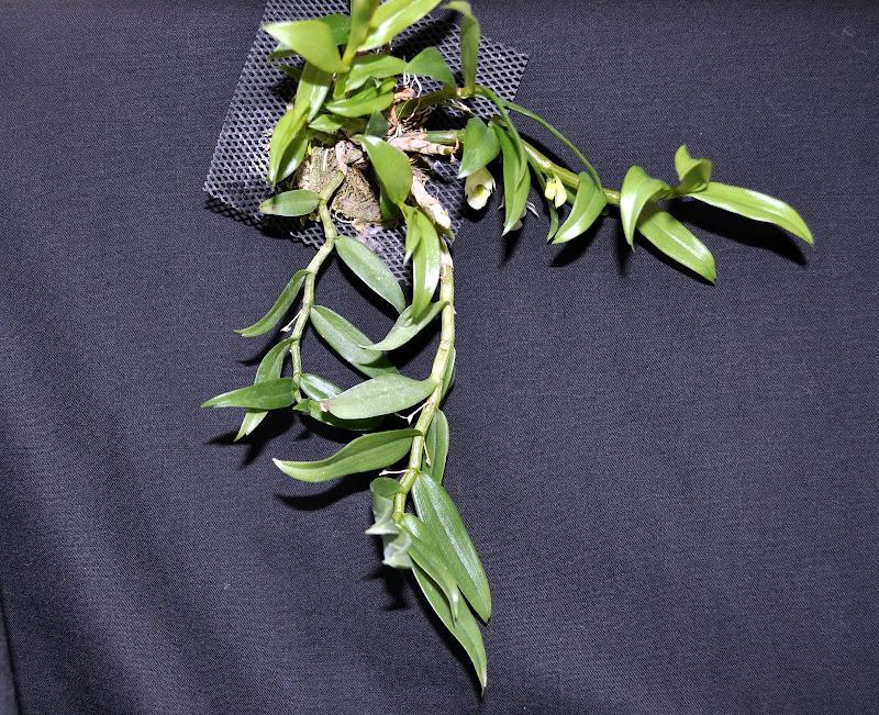 Dendrobium oligophyllum [mise à jour photos] DSC_0005