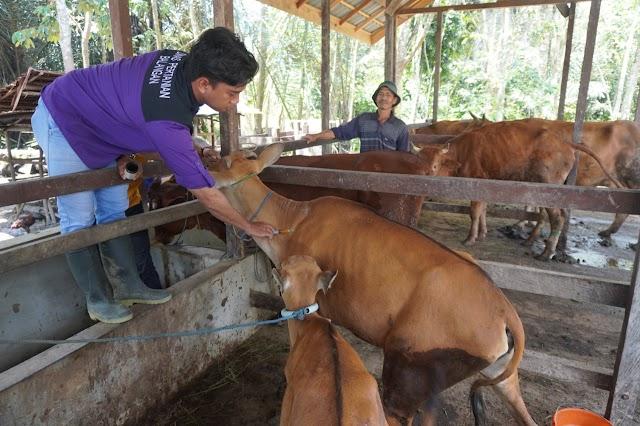 170 Ekor Sapi Bali di Balangan Mulai Divaksinasi Jembrana