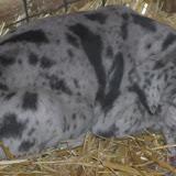 Gretta & Cobalt Blues 3/24/12 litter - SAM_3364.JPG