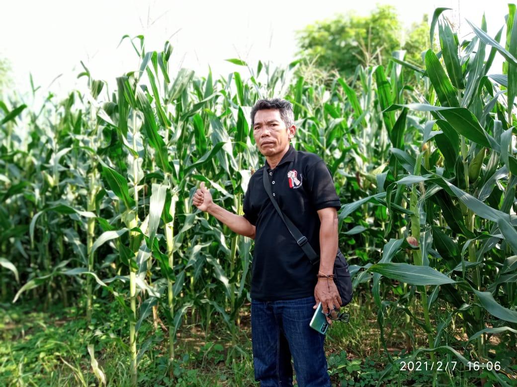 Desa Sekaroh di Masa Pandemi Covid-19, Pertanian Jagung Meningkat 100%