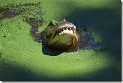 Alligator Eating 2