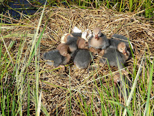 wildlife-ducks.jpg
