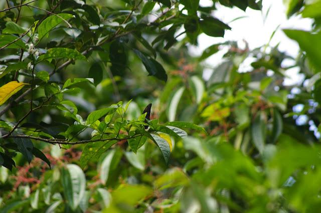 Morpho telemachus L., 1758. Près de Camp Patawa (second layon), Montagne de Kaw (Guyane). 16 novembre 2011. Photo : J.-M. Gayman