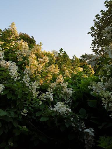 Hydrangeas at sunset. More than A Garden: Curious Llamas, Tiny Houses, and Teapot Trees at Kingsbrae Garden