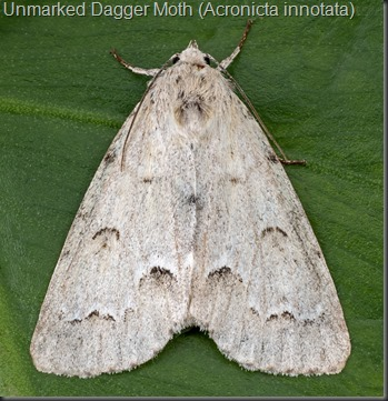 Unmarked Dagger Moth