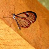Pseudoscada erruca (HEWITSON, 1855). Environs de Curitiba, Paraná. 30 décembre 2012. Photo : Mauricio Skrock