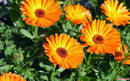 20 hình nền hoa cúc nhiều màu sắc tươi đẹp