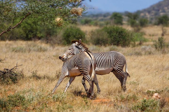 Grevy Zebra, Samburu National Reserve, Kenya
