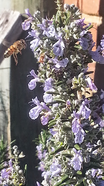 Rosemary in flower - nectar is go!