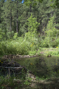 A beaver dam on a small stream in the San Francisco River drainage
