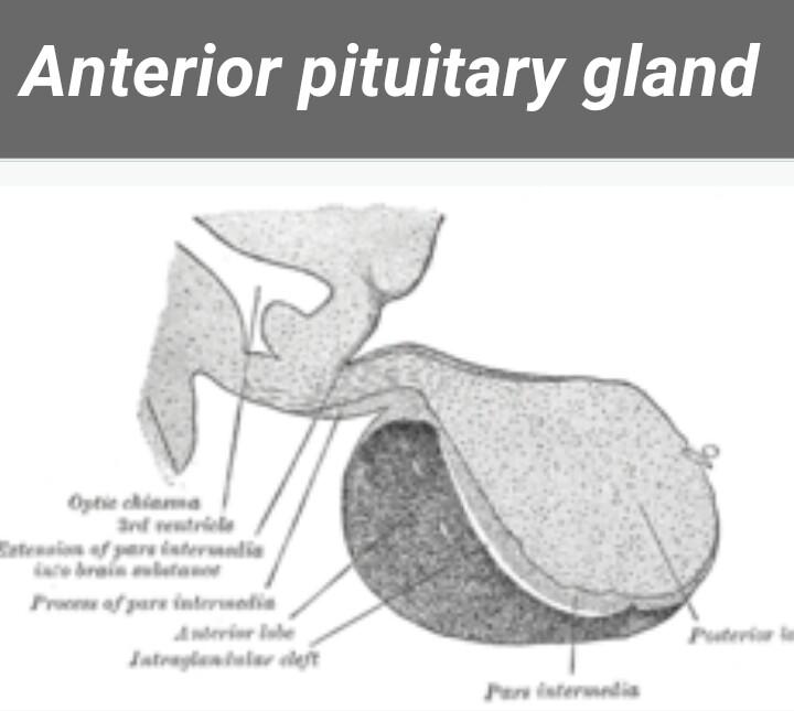 pituitary hormones secretion
