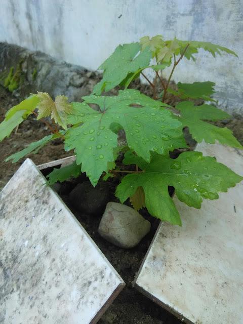 Zat perangsang tumbuh alami