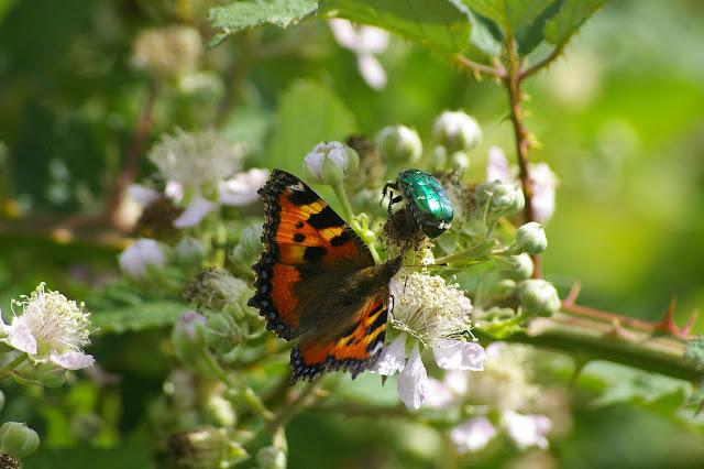 Aglais urticae (Linnaeus, 1758) et Cetonia aurata (Linnaeus, 1758). Chevigny au Nord de Semur-en-Auxois. 15 juin 2007. Photo : J.-M. Gayman