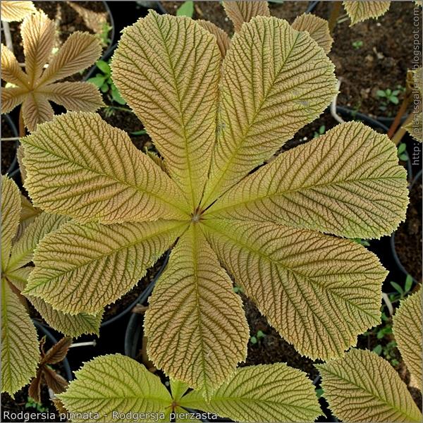 Rodgersia pinnata leaf - Rodgersja pierzasta liść