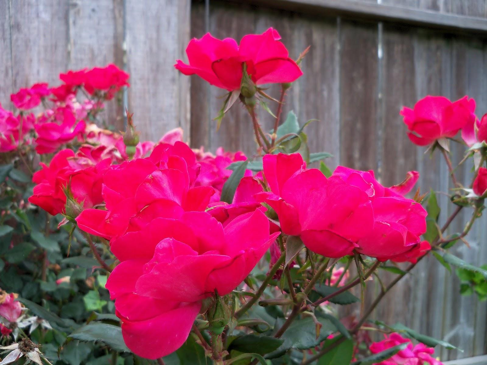 Gardening 2013 - 115_5988.JPG